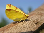 Brimstone (Opisthograptis luteolata)
